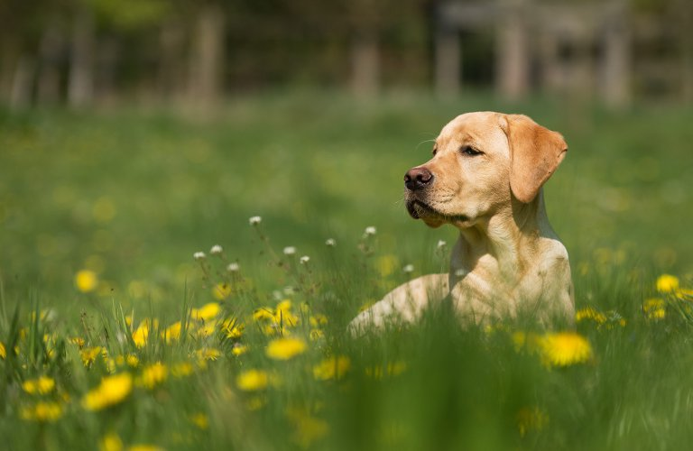 Retriever sitting in grass